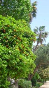 467. Un oranger